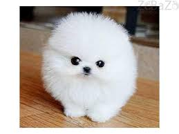 free teacup pomeranian puppies. Contemporary Teacup Sweet Teacup Pomeranian Puppies For Adoption  Please Contact Us And Free Teacup Pomeranian Puppies S