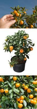 Growing KumquatsKumquat Tree Not Bearing Fruit