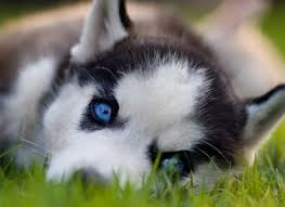 cute husky puppies with blue eyes. Exellent Blue Gorgeous Siberian Husky Puppy With Bright Blue Eyes Laying In The Grass And Cute Puppies With Blue Eyes N