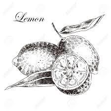レモン ベクトル インクと鉛筆で柑橘類の手描きのスケッチレトロな詳細な植物イラスト