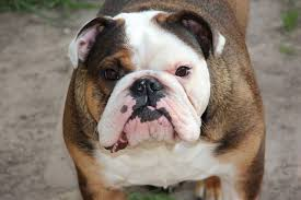 the australian bulldog bears a striking resemblance to the bulldog but it has clearly been