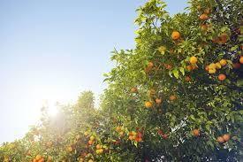 16 Common Citrus Fruit Trees