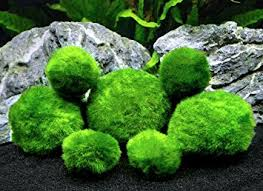 Decorating With Moss Balls 100 Giant Marimo Moss Balls XL Size Very High Quality REAL Marimo 73
