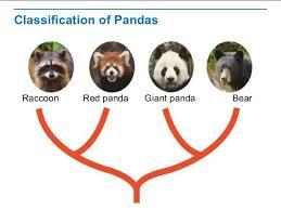 Raccoon Classification Chart Evolutionary Classification