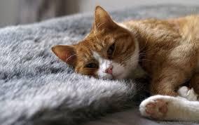 cat rest rug sleep wallpaper background best stock photos