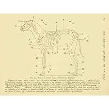 Drawing Page Anatomy Diagram Animals Haywood Dog 12x16 Art Print Poster Lah599