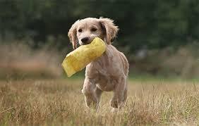 gundog s puppy