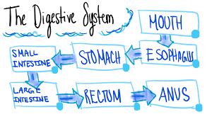 Digestive System Flowchart Diagram Quizlet