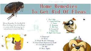 fleas in my house. How To Get Fleas Out Of My House . In