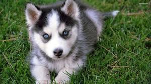 cute siberian husky puppy wallpaper. Wonderful Puppy Siberian Husky Puppy Wallpaper In Cute Puppy Wallpaper U