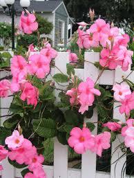 our favorite flowers mandevilla