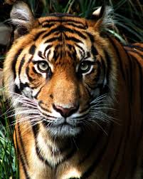 tiger face growling. Modren Face Tiger Face Growling Side View  Photo3 To Face Growling G