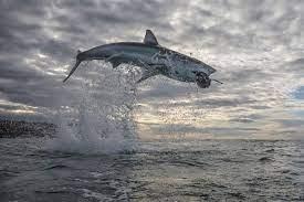 Shark Week' 2021: How the shark ...