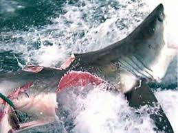 great white shark attack. Wonderful Attack VIDEO An Image Showing A Great White Bitten In Half Is Causing Buzz On Inside Great White Shark Attack