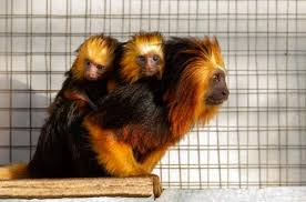 golden headed lion tamarin. the golden-headed lion tamarin gets its name from golden ring of fur around face resembling a lion\u0027s mane. this little creature also uses that mane headed