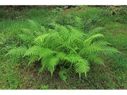 Thelypteris kunthii (Wood fern) | Native Plants of North America