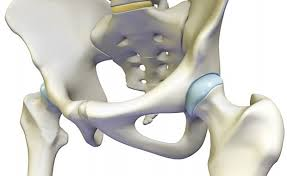 ball and socket joint. about the hip joint ball and socket