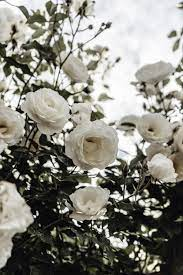 500+ White Rose Pictures [HD ...