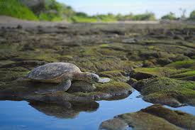 Honu reflections Photograph by Ivan Franklin