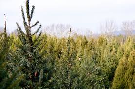 Kicking Off The Holidays With A Visit To The Old Time Christmas Local Christmas Tree Lots
