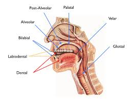Place Of Articulation Free Pronunciation E Course The