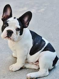 black and white french bulldog.  French Black And White French Bulldog  Is One Of The Most Popular  Colors For This Breed In Black And White French Bulldog Pinterest