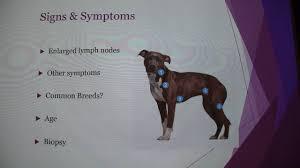 Canine Lymphoma Symptoms Canine Lymphoma