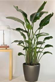 List of Tall Houseplants aka Floor Plants.