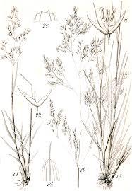 Agrostis rupestris - Wikispecies