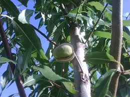 How To Move Fruit And Nut Trees And Build A Community Orchard Fruit And Nut Trees