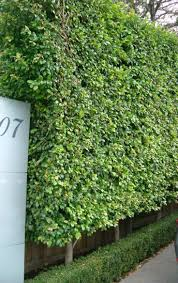 Living Privacy Fence 16 Best Garden Boundary Wall Planting Images On Pinterest