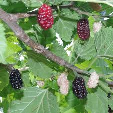 27 Best Marvelous Mulberries Images On Pinterest  Mulberry Tree Non Fruiting Mulberry Tree