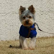 list of dogs that don t shed dogs that