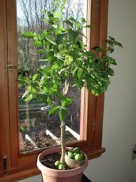 ... Press fileIf your lime tree is indoors, the floor under the potted  plant may become sticky. Also, honeydew may cause a plant disease called  sooty mold.