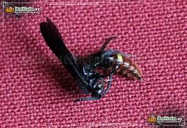 Blue-winged <b>Wasp</b>