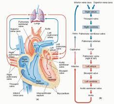 Heart Flow Chart Flow Chart Of The Heart The Heart Flowchart Anatomy Of The