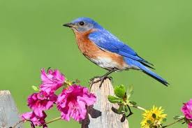 images of flowers and birds. Exellent And Male Eastern Bluebird Sialia Sialis On A Fence With Dandylion Flowers And  Pink Azalea And Images Of Flowers Birds