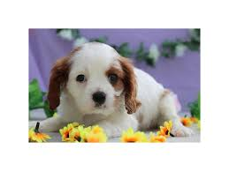 cavalier king charles spaniel puppies who found loving homes