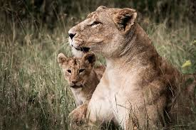 lioness and her lion cub out in the