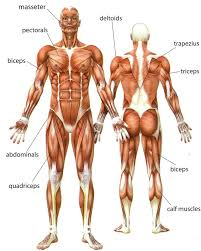 Diagram Of Human Muscles – citybeauty.info