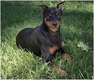 Miniature Pinscher Dog Breed Facts And Traits Hills Pet