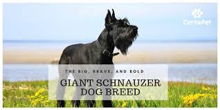 Giant Schnauzer Size Chart The Big Brave And Bold Giant Schnauzer Dog Breed Certapet