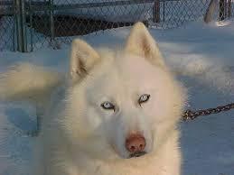 white husky wolf mix with blue eyes.  Mix CLICK Httpdinulcoccwhitehuskypuppieswithblueeyes Ice White W Blue  Eyes 3 Inside White Husky Wolf Mix With Blue Eyes F
