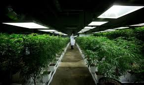 how many plants can a medical patient grow in colorado