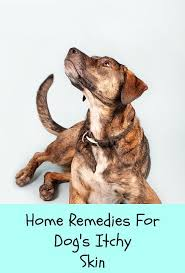 Dog Itch Relief Home Remedies - Paws Right Here