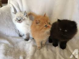 teacup persian cat. Simple Persian Blue Teacup Persian Kittens For Sale In California Classifieds U0026 Buy And  Sell  Americanlisted Intended Teacup Persian Cat P