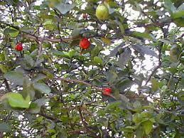 GOVARDHAN GARDENS ECOORGANIC FRUIT NURSERYJamaican Fruit Trees