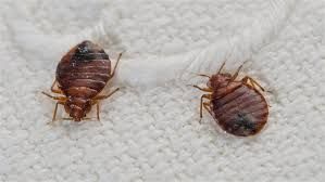 How To Get Rid Bedbugs