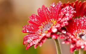 red gerbera flowers after rain