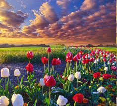 spring, Flowers, Tulips, Field, Sunrise ...